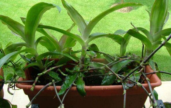 Вирощування і догляд  золотого вуса